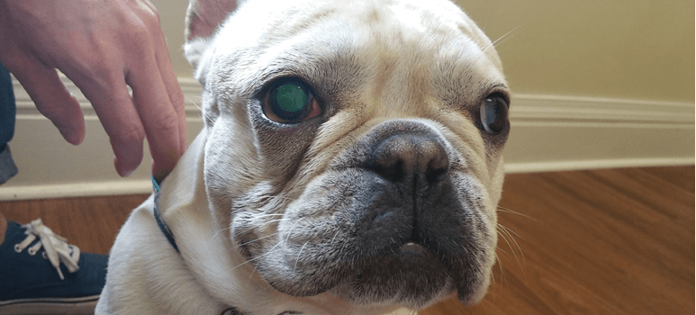 How To Tell If Dog Is Going Blind Blind Dog With A Seeing